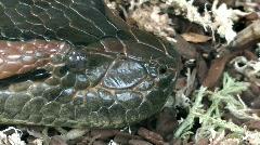 Python reticulatus Stock Footage