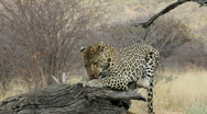 Stock Video Footage of Leopard