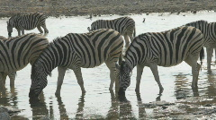 Zebras - stock footage