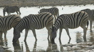 Stock Video Footage of Zebras