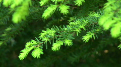 Evergreen tree Stock Footage
