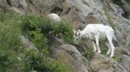 Stock Video Footage of Dall Sheep Alaska on ledge P HD 1549
