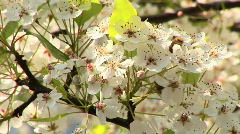 Stock Video Footage of Almond Blossoms and Bees