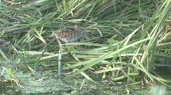 P01136 Common Snipe in Wetland Stock Footage
