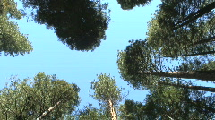 Evergreen trees - stock footage