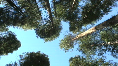 Stock Video Footage of Evergreen trees