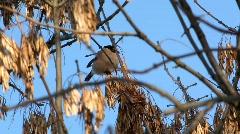 Bullfinch (Pyrrhula pyrrhula) female Stock Footage