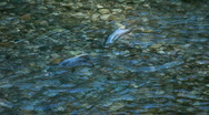 Salmon pair spawning river P HD 0238 Stock Footage