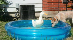 The duck and the dog Stock Footage