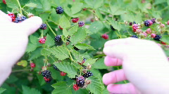 Blackberry picking POV Stock Footage