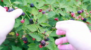 Stock Video Footage of Blackberry picking POV