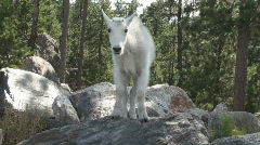 P01197 Baby Mountain Goat on Rock Stock Footage