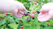 Stock Video Footage of Blackberry picking POV