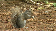 Gray Squirrel Nibbles and Looks Stock Footage