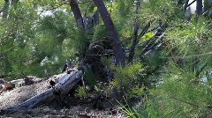 Iguana In Pine Trees Stock Footage