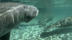 West Indian Manatee Breath of Air - stock footage