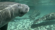 Stock Video Footage of West Indian Manatee Breath of Air