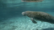 Stock Video Footage of West Indian Manatee takes a breath