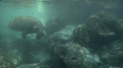 West Indian Manatee Swims by Stock Footage