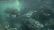 Stock Video Footage of West Indian Manatee Swims by