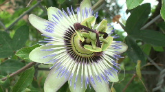 Passionflower - stock footage