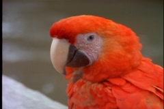 Amazon jungle, Parrot, close up face Stock Footage