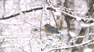 Stock Video Footage of Eastern Bluebird in Snow Storm