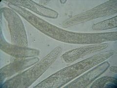 Stock Video Footage of spirostomum 200x