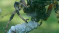 T205 amazing spider clip arachnid bug big creepy creature Stock Footage