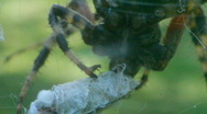 Stock Video Footage of t205 amazing spider clip arachnid bug big creepy creature