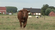 Brown cow walks to camera Stock Footage