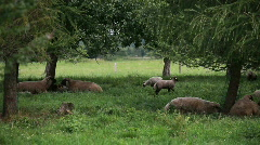Flock of sheep grazing and resting under trees Stock Footage