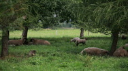 Stock Video Footage of Flock of sheep grazing and resting under trees
