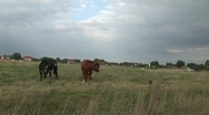 Two cows in meadow Stock Footage