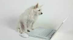 Adorable Dog Clicks Mouse With Paw Reads Email Off Computer Screen - stock footage