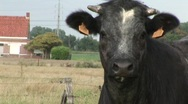 Black cow in meadow Stock Footage