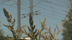 Dragon Fly Sits On a Weed and Eats With Trax Rails in the Background 1 Stock Footage