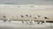 Seagulls on the beach-Big Web Stock Footage