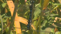Dragon Fly's Mating, Reproducing, Having Sex 3 Stock Footage