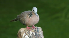 Spotted Dove (Streptopelia chinensis) Stock Footage
