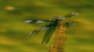 Stock Video Footage of Dragon Fly Sits On a Weed and Eats 2