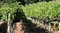Vineyard Dolly 2 Footage