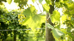 Vineyard 12 - stock footage