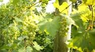 Vineyard 9 Stock Footage