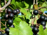 Stock Video Footage of Ripe purple wine grapes on vine in sun