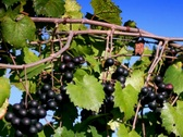 Stock Video Footage of Ripe clusters of purple wine grapes on vine