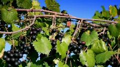 Ripe Clusters of purple wine grapes on vine  Stock Footage