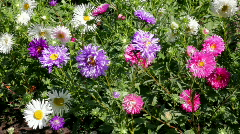 Aster flowers Stock Footage