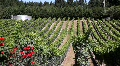 Rolling Vineyard Grapevines HD Footage