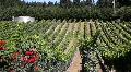 Rolling Vineyard Grapevines Footage